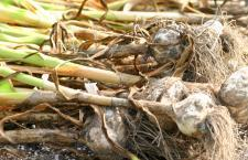 harvestedgarlic1